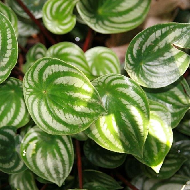 Peperomia srebrzysta - peperomia argyreia. Podobnie jak inne gatunki z rodzaju peperoma są stosowane jako rośliny ozdobne